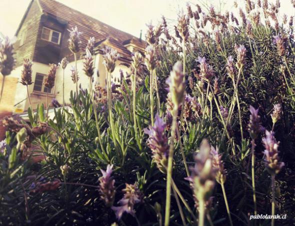 lavender flowers, pablolarah,Pablo Lara H Photography,Santiago, Chile
