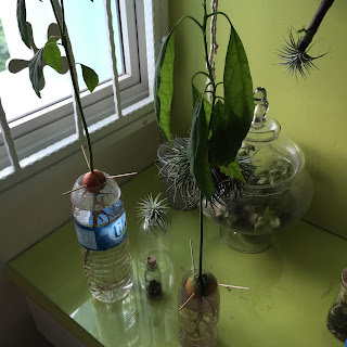 Growing avocado in water - Mid September 2015
