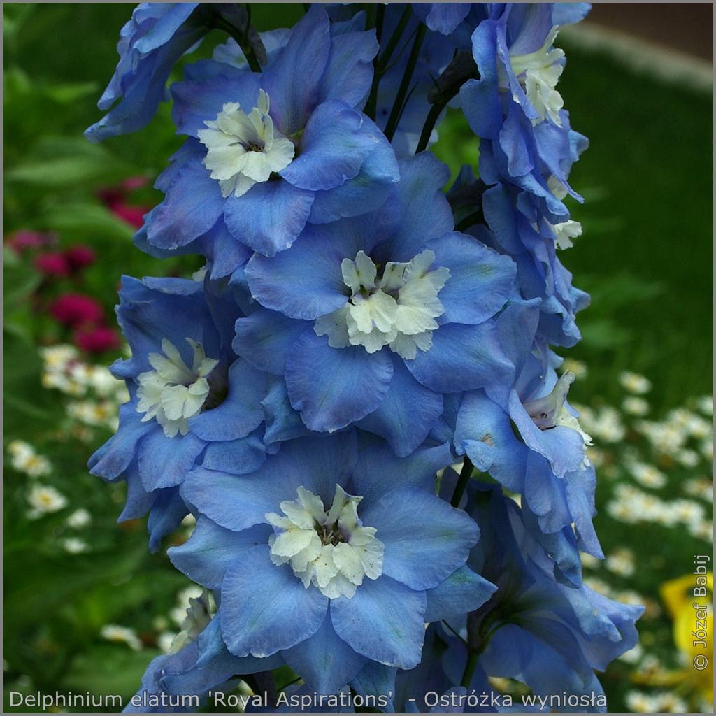 Delphinium elatum 'Royal Aspirations'     flowers  - Ostróżka wyniosła 'Royal Aspirations'   kwiaty