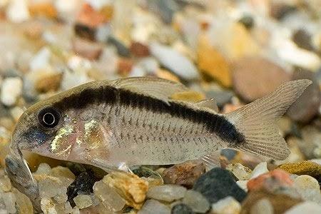 Corydoras Arcuatus – Kemerli Çöpçü Balığı Resimleri