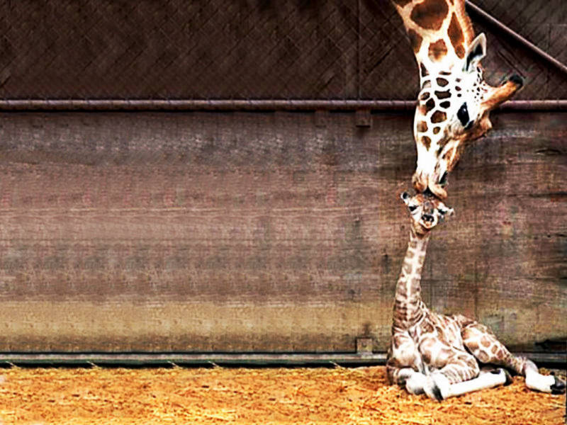 cute baby Giraffe kiss