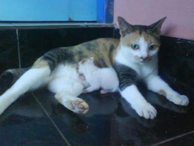 Kapan waktu terbaik menyapih anak kucing dari induknya?