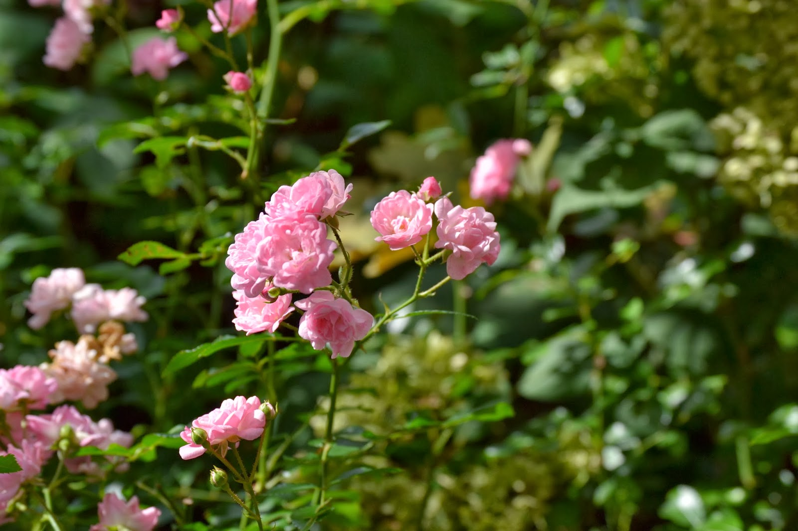 Roses   Flower and Garden