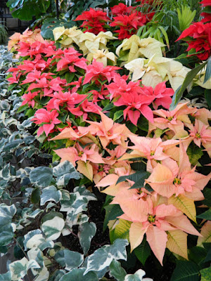 Allan Gardens Conservatory 2015 Christmas Flower Show layers of poinsettias by garden muses-not another Toronto gardening blog