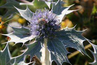 Sea Holly (Eryngium maritimum), Banded Snail (Cepaea)