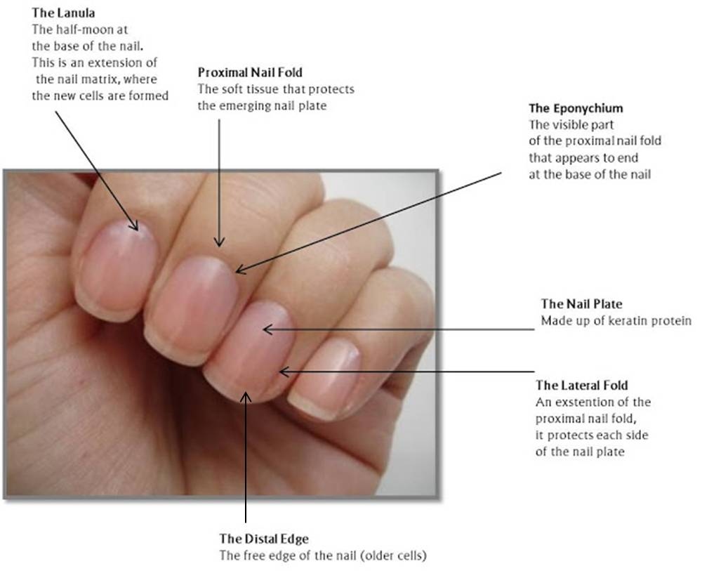 Toenail anatomy diagram