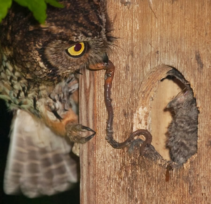 Western Screech Owl - All About OWL