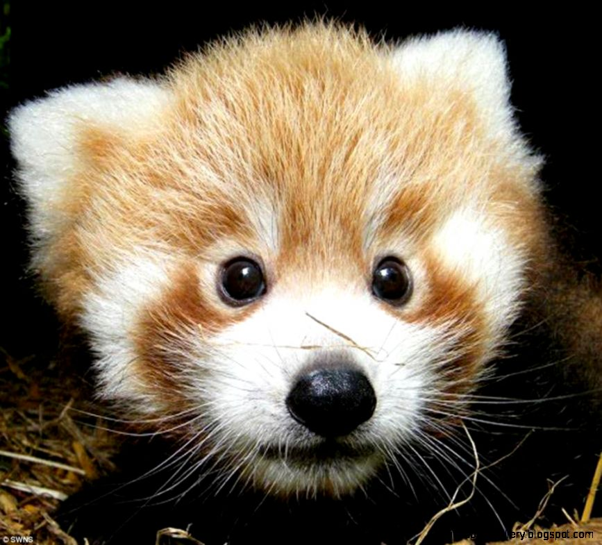 Just too cute Adorable red panda cubs born at British zoo that