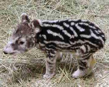 gambar binatang - foto tapir