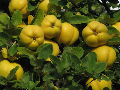 Quince (Cydonia Oblonga) Overview, Health Benefits, Side effects