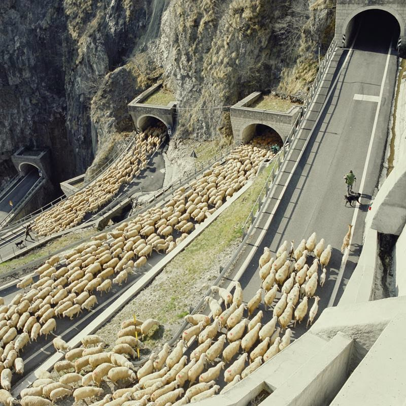 Italian sheperd Luigino Balzan and his flock are reaching San Boldo pass. The pastor Luigino Balzan leading the flock towards the last curves of the pass san Boldo, between the province of Treviso and that of Belluno.