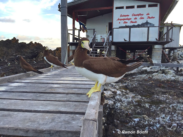brown boobies perched on dock leading to research station