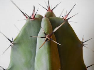 cactus cardón