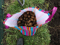 Potato Harvest - Wilja Potatoes