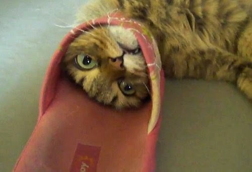 Cat stuck in a flip-flop