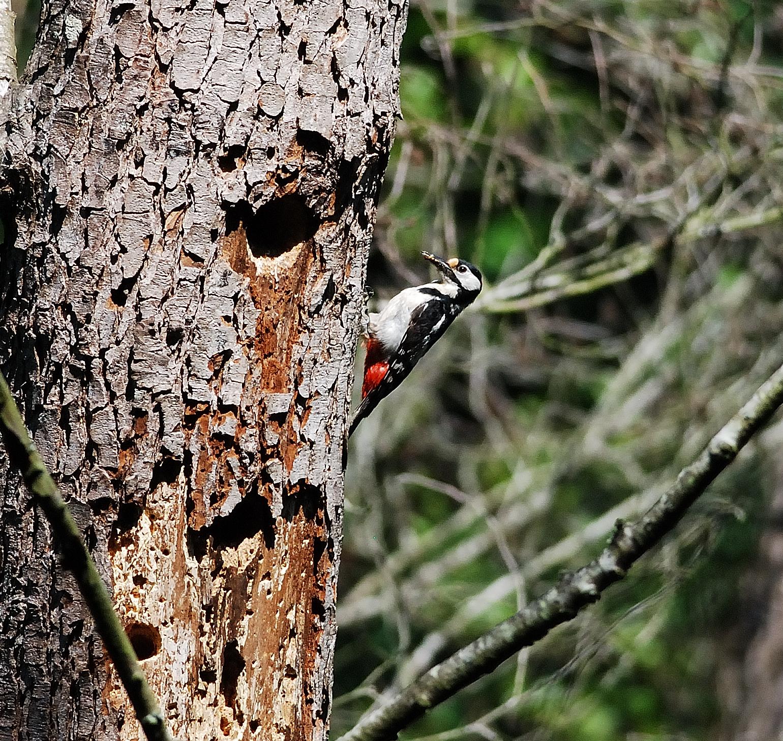 La voliera senza sbarre picchio rosso maggiore in for Il nido del picchio