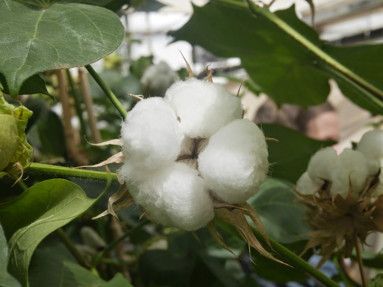 transitional cotton farming