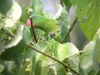 Burung Paruh Bengkok,burung betet,Betet - Kelapa Filipina Salvadorii