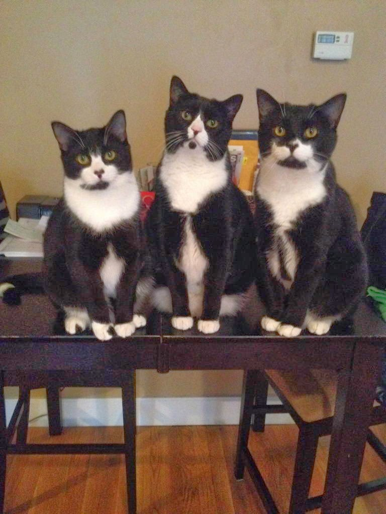 Funny cats - part 95 (40 pics + 10 gifs), cat pictures, three identical cats