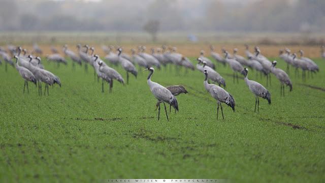 Kraanvogel - European Crane - Grus grus