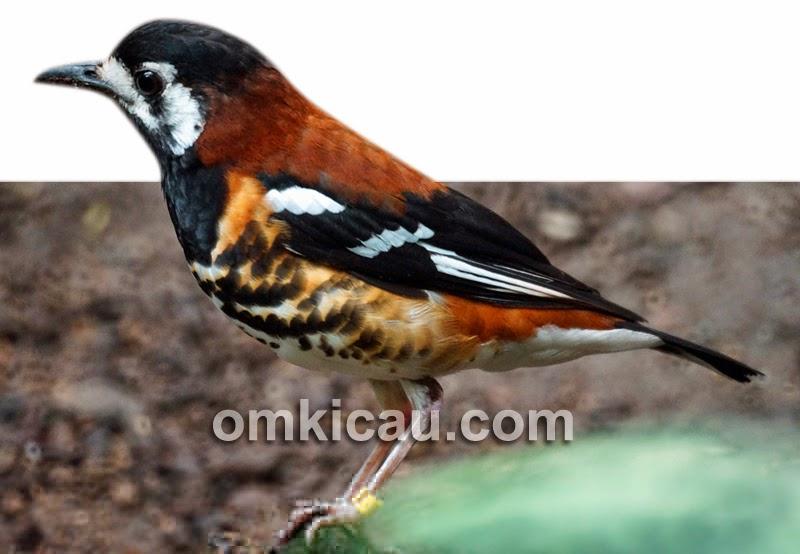 Gambar Cara Merawat Burung Anis Ampenan