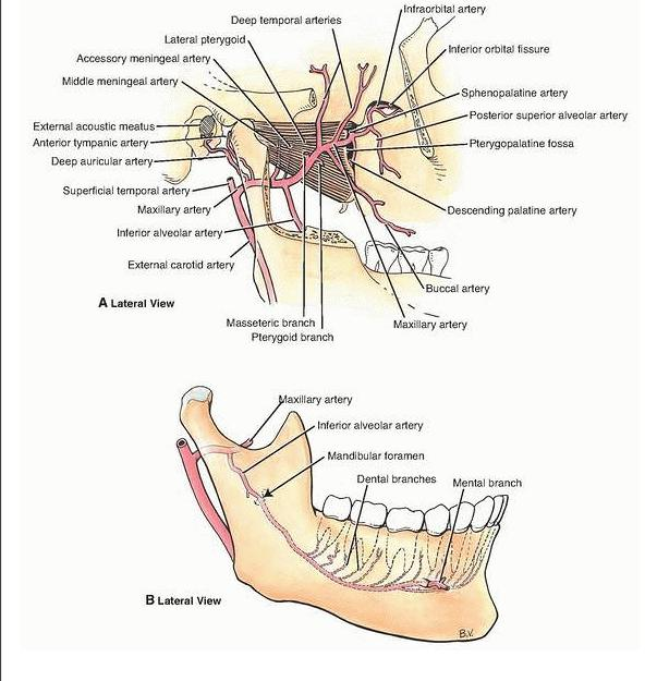 Internal Maxillary Artery Anatomy Choice Image Human Body Anatomy