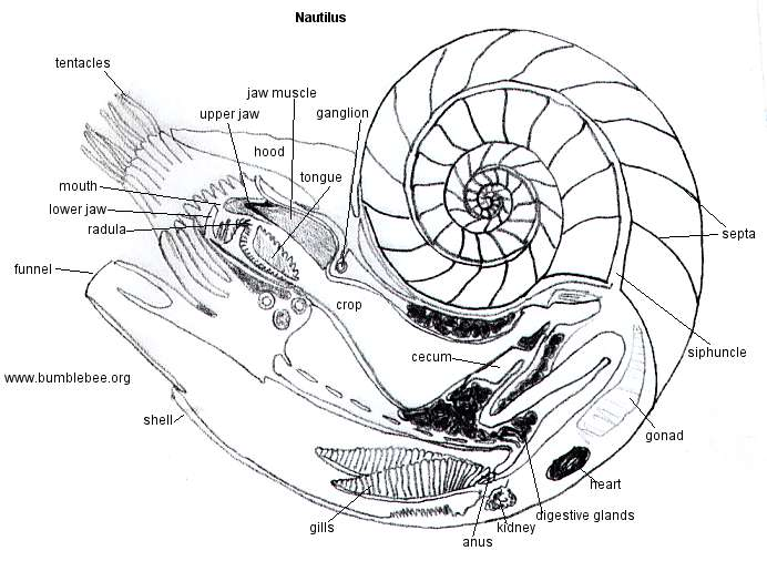 Invertebrate Diversity: The Nautilus
