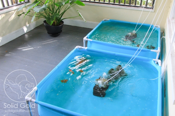 Kiddie pools as turtle tub habitats and equipment for Koi pond kiddie pool