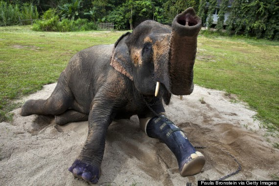 Elephant In Thailand Gets New Prosthetic Leg (Video)
