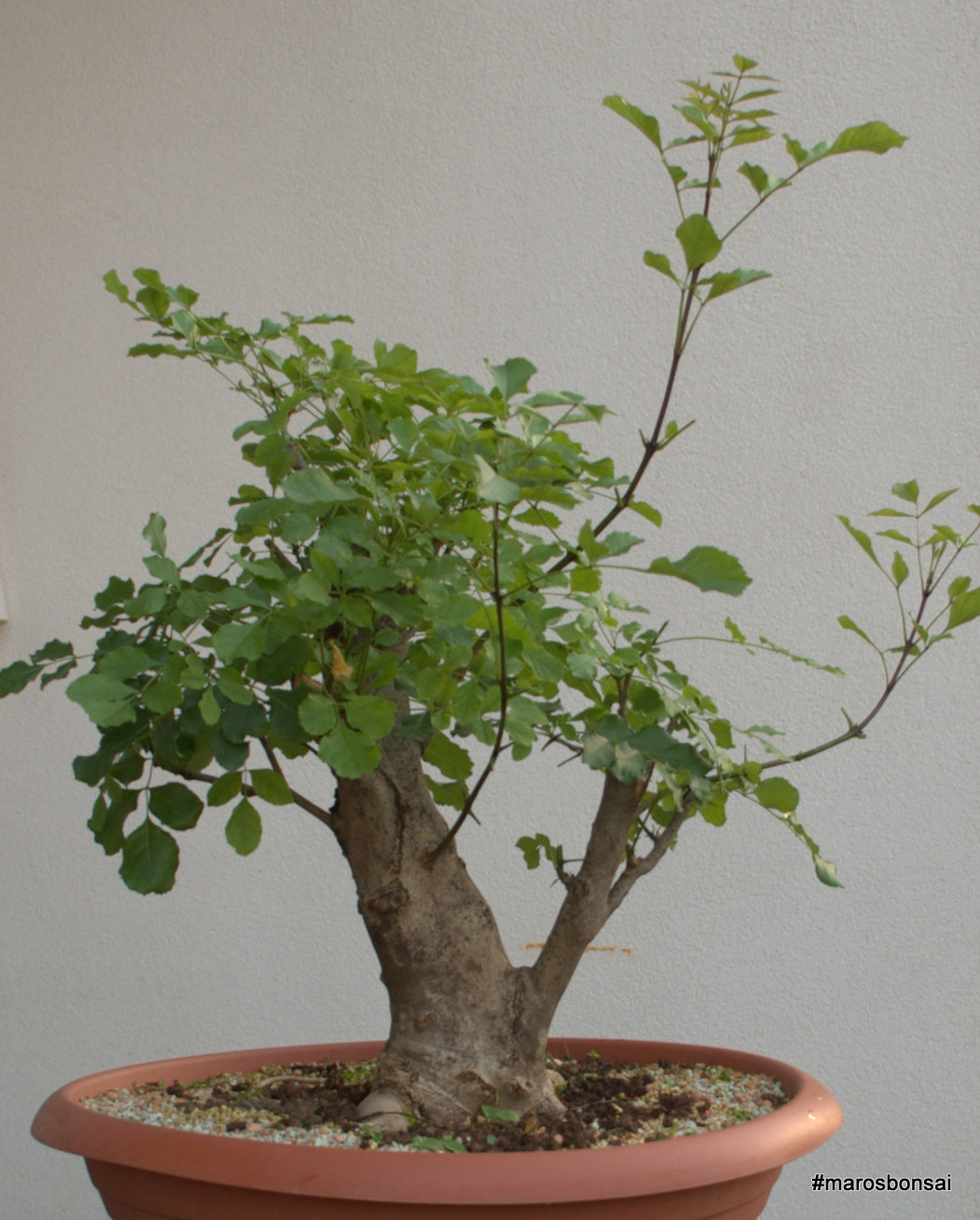 Maros Bonsai Blog Story Of My Fraxinus Bonsai