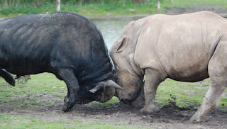 Two horned mammal versus the one horned with thick dermal armor.