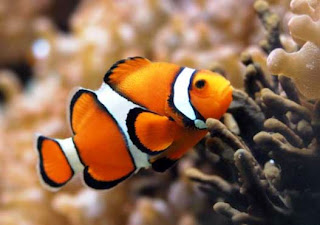 Ikan hias Clownfish