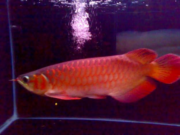 makanan ikan arwana golden red