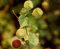 Cây cối xay thuốc tăng tinh dịch