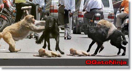 Macaca lutando com cachorro