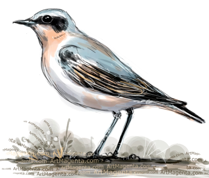 Wheatear sketch painting. Bird art drawing by illustrator Artmagenta