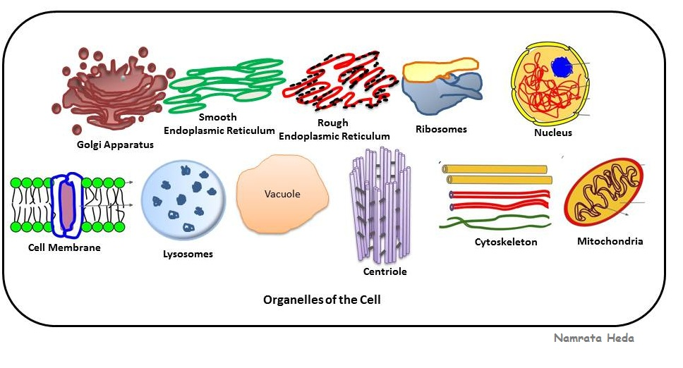 prokaryote vs eukaryote structure diagram of animal cell