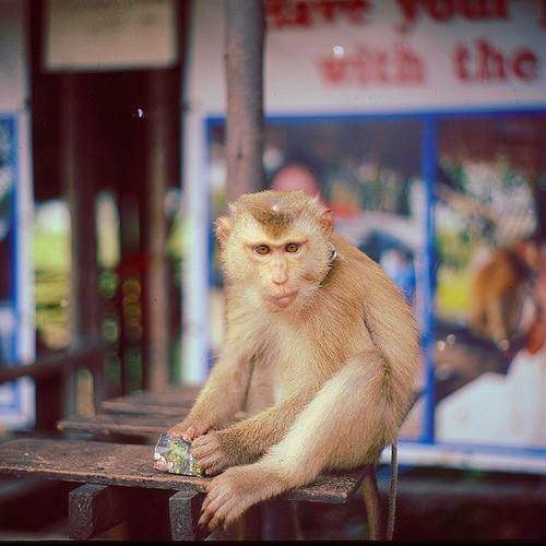 Koleksi Gambar-gambar Monyet Yang Cute Sangat, Baju Monyet, Jenis-jenis Monyet, Nama Saintifik Monyet, Monyet Yang Comel, Monyet Ada Awek Cun