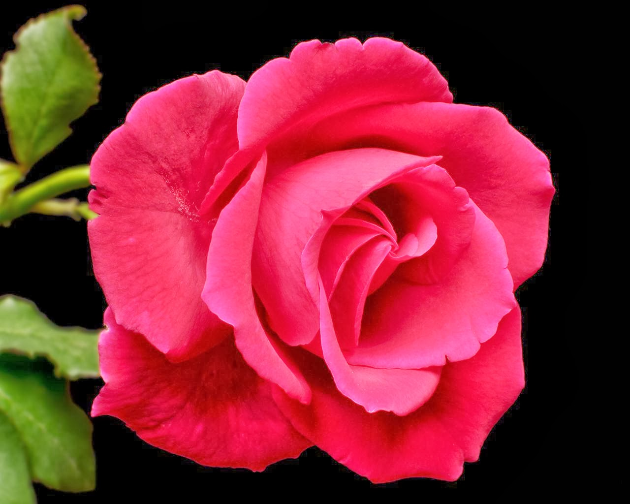 Very Nice Rose Flowers Wallpapers For Lovers