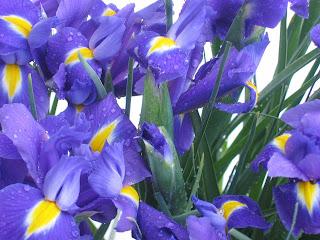 Iris silvestres