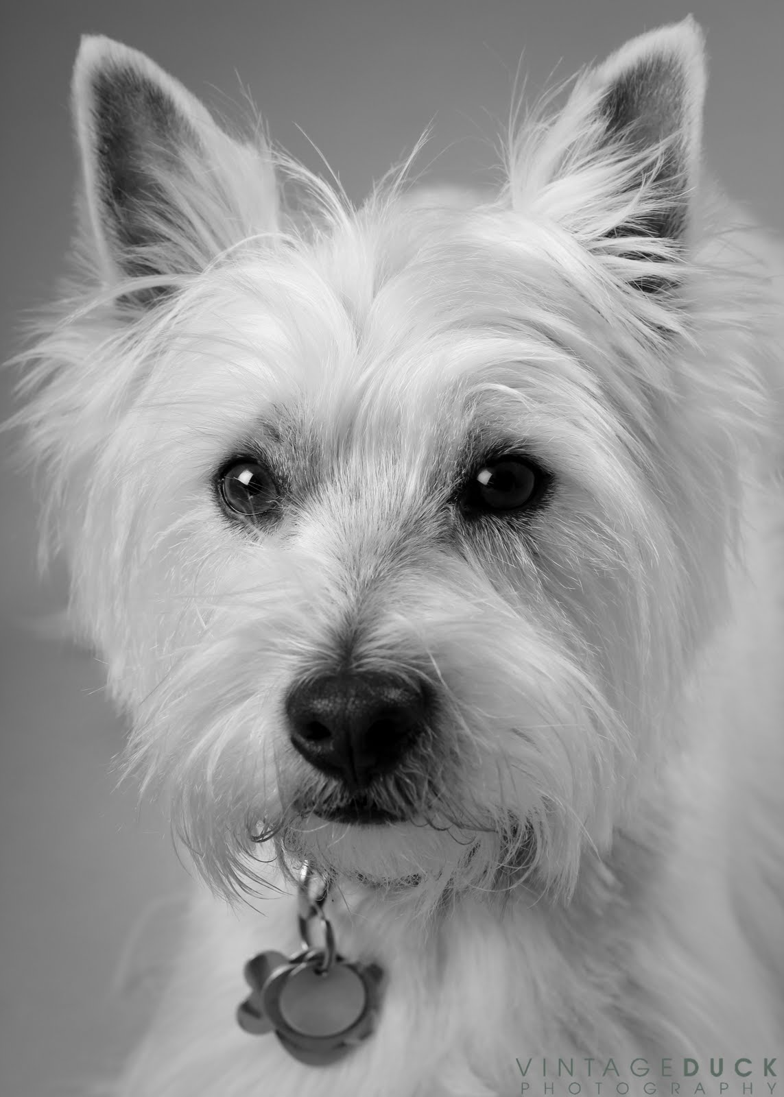 Vintage Duck Photography: Angus the Westie