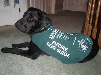 Black lab puppy Romero is lying down on the mint green carpet in the hall outside my bedroom. Romero's body is facing slightly away from the camera but his head is turned over his right shoulder looking towards me. He is wearing his new, size 5 green puppy jacket. The jacket has Future Dog Guide printed in large font on each side, and on the back it has the dog guides logo and phone number, then more text reading Please ask my handler before you pet me. At the bottom of the jacket, sitting above Romero's hips, is the logo for the Lions Foundation, which sponsored the jacket. Unlike the size 4 jacket, which was looking like a tank top on Romero, this one sits comfortably on him, covering up most of his back ... at least until he grows anymore!