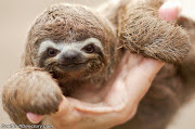 Baby Sloth. Baby Sloth. Scarce Fur Seal baby sloth