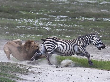 Lion Zebra Friends Lion Attack Zebra Escape