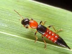 Tomcat - Apa itu Serangga tomcat ? - Cara menanggulangi gigitan tomcat - cara mencegah serangan serangga tomcat
