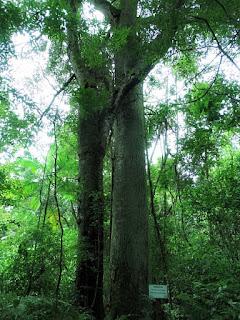 Timbaúva: árvore usada pelos índios para construir canoas.
