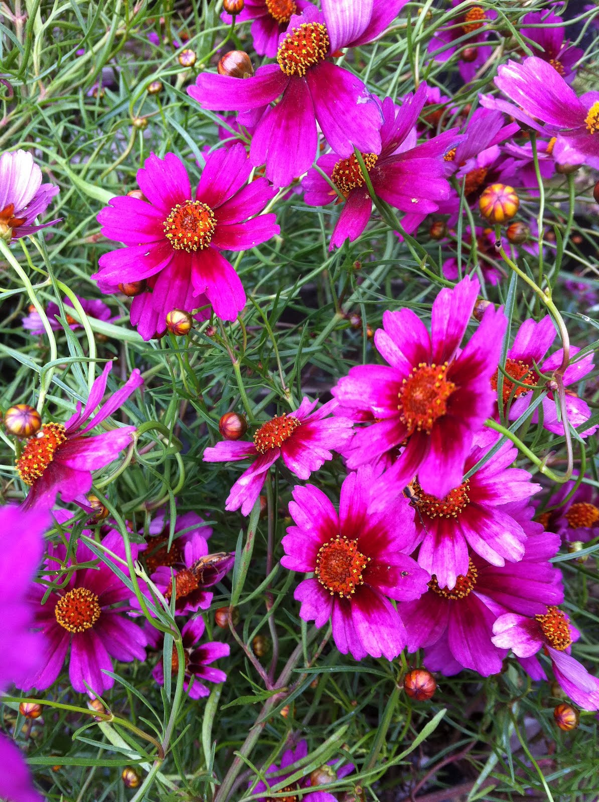 Coreopsis Pictures And Information Coreopsis Sweet Dreams