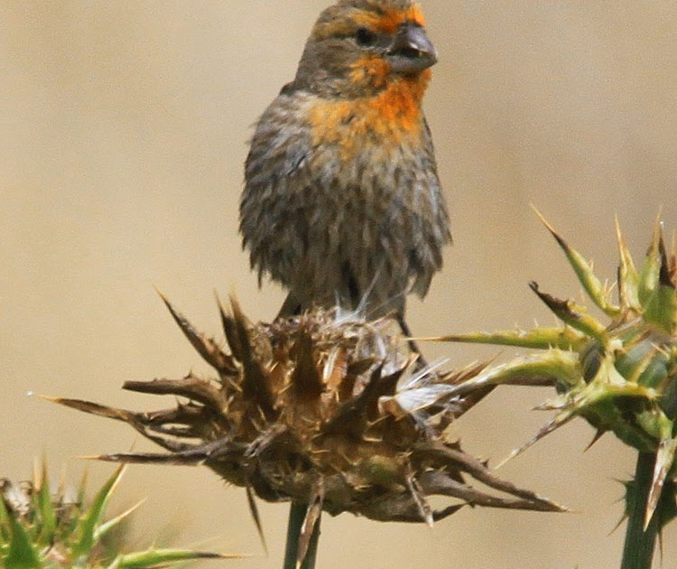 The Channel Island House Finch