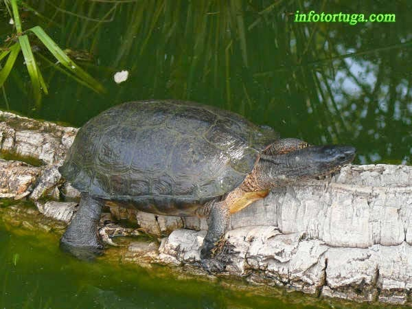 Rhinoclemmys funerea - Tortuga negra
