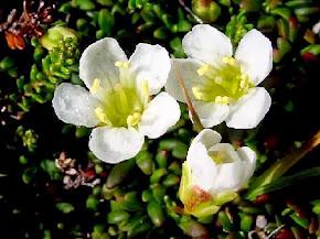 A Digital Flora of Newfoundland and Labrador Vascular Plants